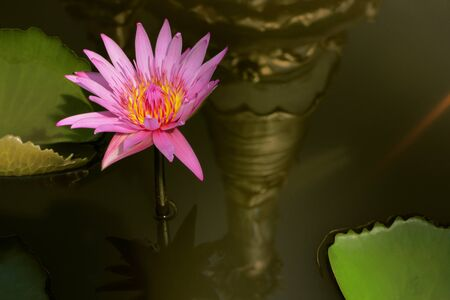 pink water lily with reflection of golden pagoda. Stock Photo - 18465231