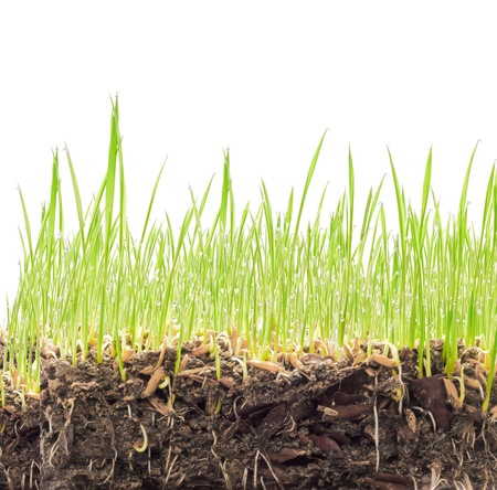 Wheat seedlings and Soil cross section  Stock Photo