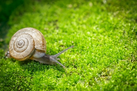 Snail crawling on moss in garden in spring