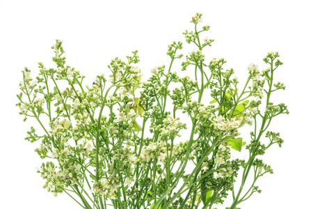 quinine: closeup neem flower on white . Stock Photo
