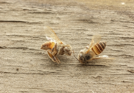 dead bee on wooden background