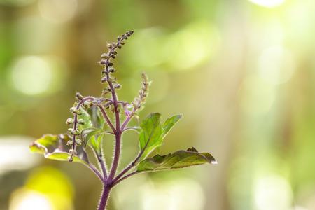 sanctum: Closeup ocimum sanctum with blooming in garden,holy basil. Stock Photo