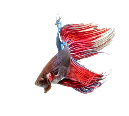 splendens: Siamese fighting fish isolated on white background,Betta splendens,clipping path. Stock Photo