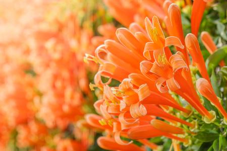 Orange trumpet, Flame flower, Fire-cracker vine,Pyrostegia venus