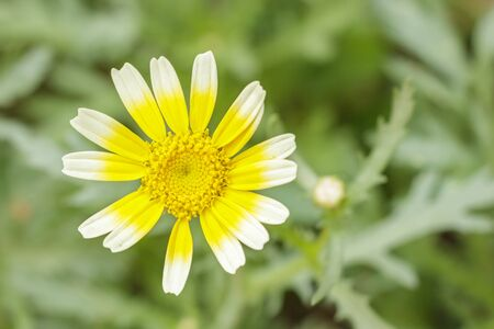 Close up tong hao flower ,Shungiku, also known as tong hao, or edible chrysanthemum,  A leaf herb commonly used in asian food Stock Photo