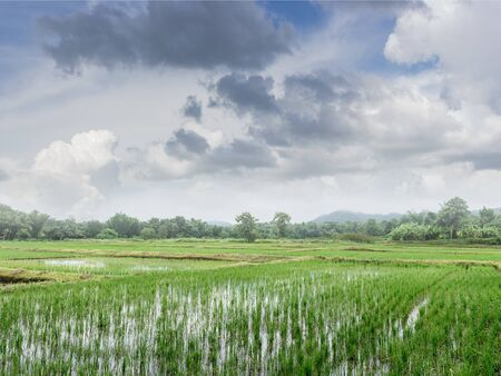 Green field of  rice sprout plant with blue sky Stock Photo