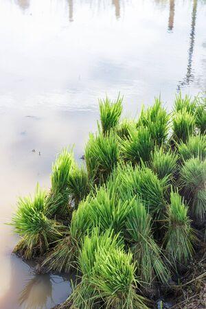 Asian farmer transplant rice seedling in rice field farmland,planting rice in the rainy season.