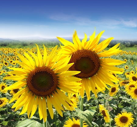 Summer sunflower fields Stock Photo - 9343368