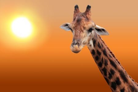 giraffa camelopardalis: Giraffe in the evening