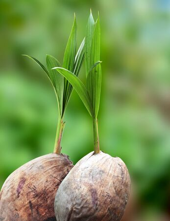 coconut seedlings: Coconut seedlings, Concept of a new life Stock Photo