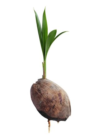 coconut seedlings: Coconut seedlings, Concept of a new life