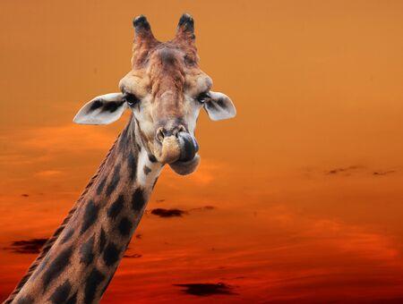 giraffa camelopardalis: Giraffe in the evening Stock Photo