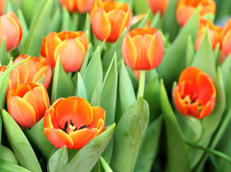 Beautiful spring tulip flowers Stock Photo - 12553511