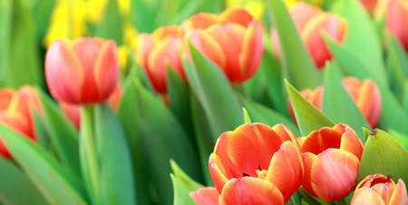 Beautiful spring tulip flowers Stock Photo - 12553508