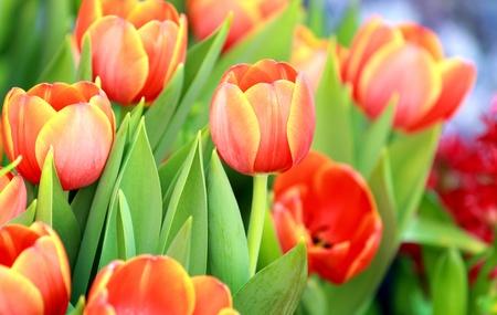 Beautiful spring tulip flowers Stock Photo - 12553516