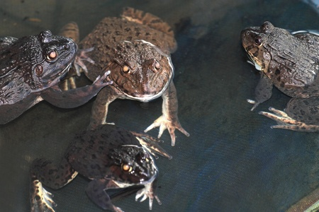 Group of frogs in the farm Stock Photo - 13187535