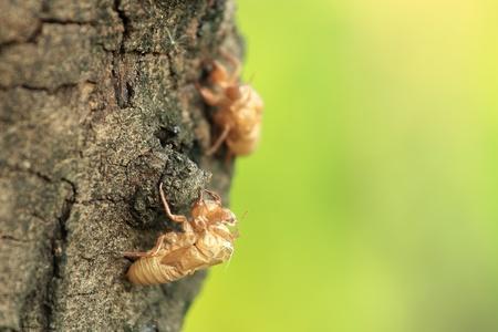 Cicada shell on the tree photo