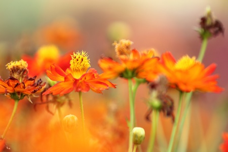 summer field: Orange cosmos flower Stock Photo