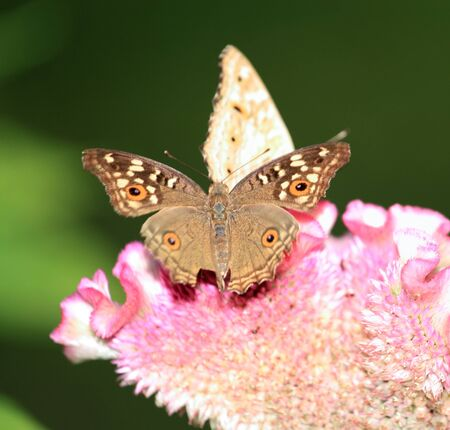 Two butterfly on pink flower photo