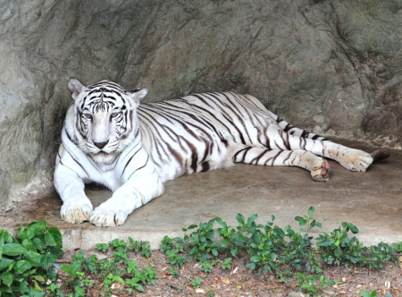 White bengal tiger photo