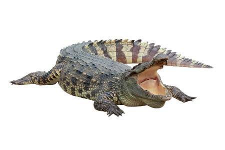 Crocodile on white background photo