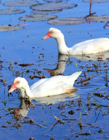 Two white ducks swimming in a river  photo
