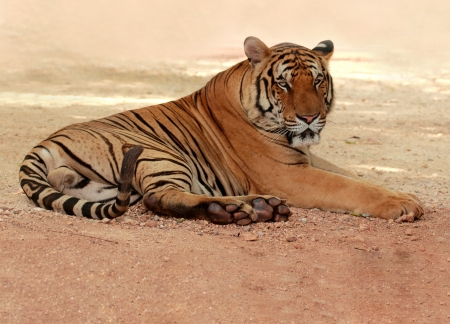 Image of tiger relaxing on the outdoor area photo