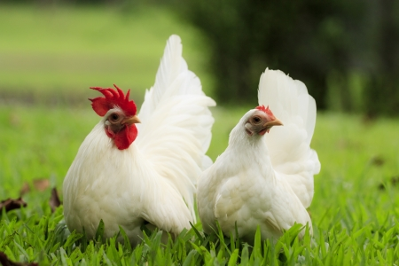 Couple white bantam in the garden 版權商用圖片 - 15634567