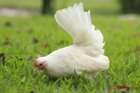 White bantam in the garden photo