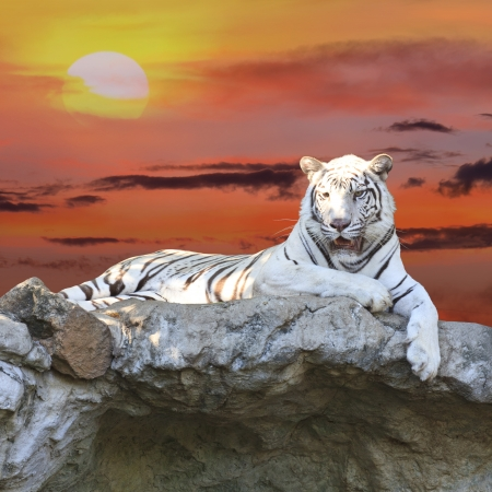 White tiger at sunset Stock Photo