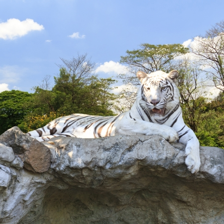 White tiger in the forest photo