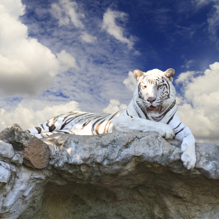 black and white panther: White tiger on blue sky