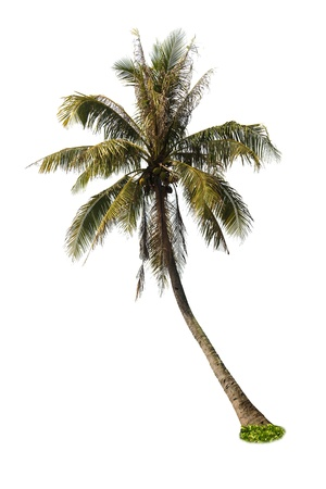 palm: Coconut palm tree on white background
