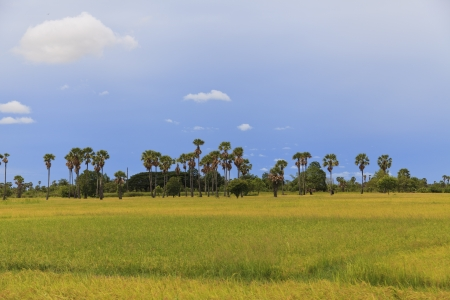 Rice fields and sugar palm tree photo