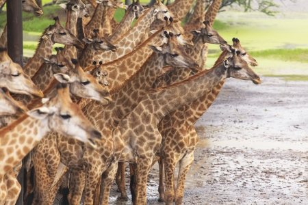 Giraffes herds photo
