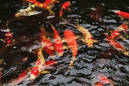 Koi fishes feeding in a pond Stock Photo - 20276641