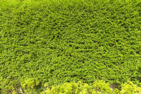 Green Creeper Plant on the wall photo