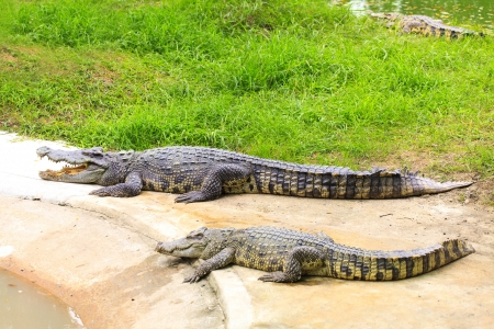 Crocodile photo