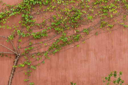 Green Creeper on the Wall photo