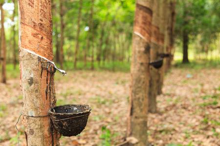 Gummi-Latex der Kautschukbäume