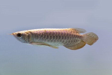 dragon fish: Dragon fish  Stock Photo