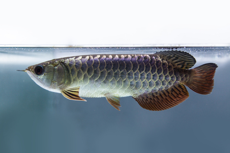 Dragon fish  photo