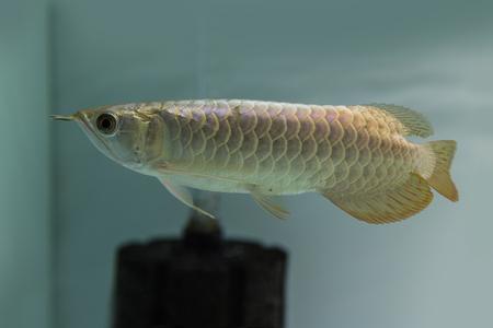 Dragon fish  photo