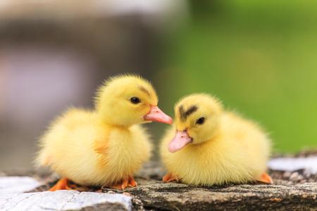Cute little ducklings Stock Photo