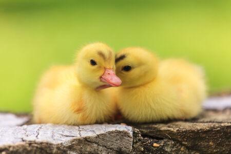 Cute little ducklings photo