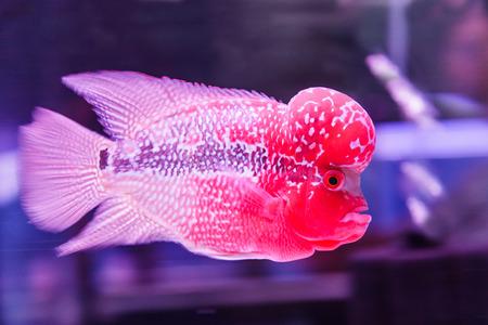 flower horn fish photo