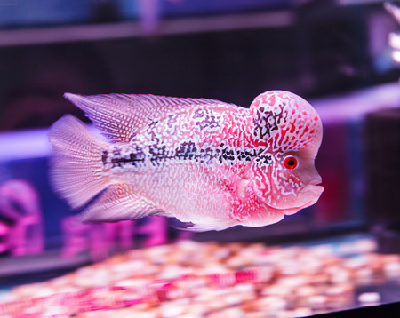 flower horn fish photo