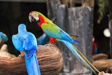 guacamaya: Guacamayo de aves Foto de archivo