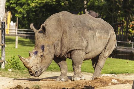 poaching: Rhino in the zoo Stock Photo