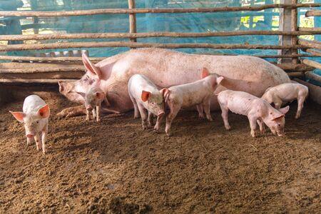 pigpen: Pigs on a farm